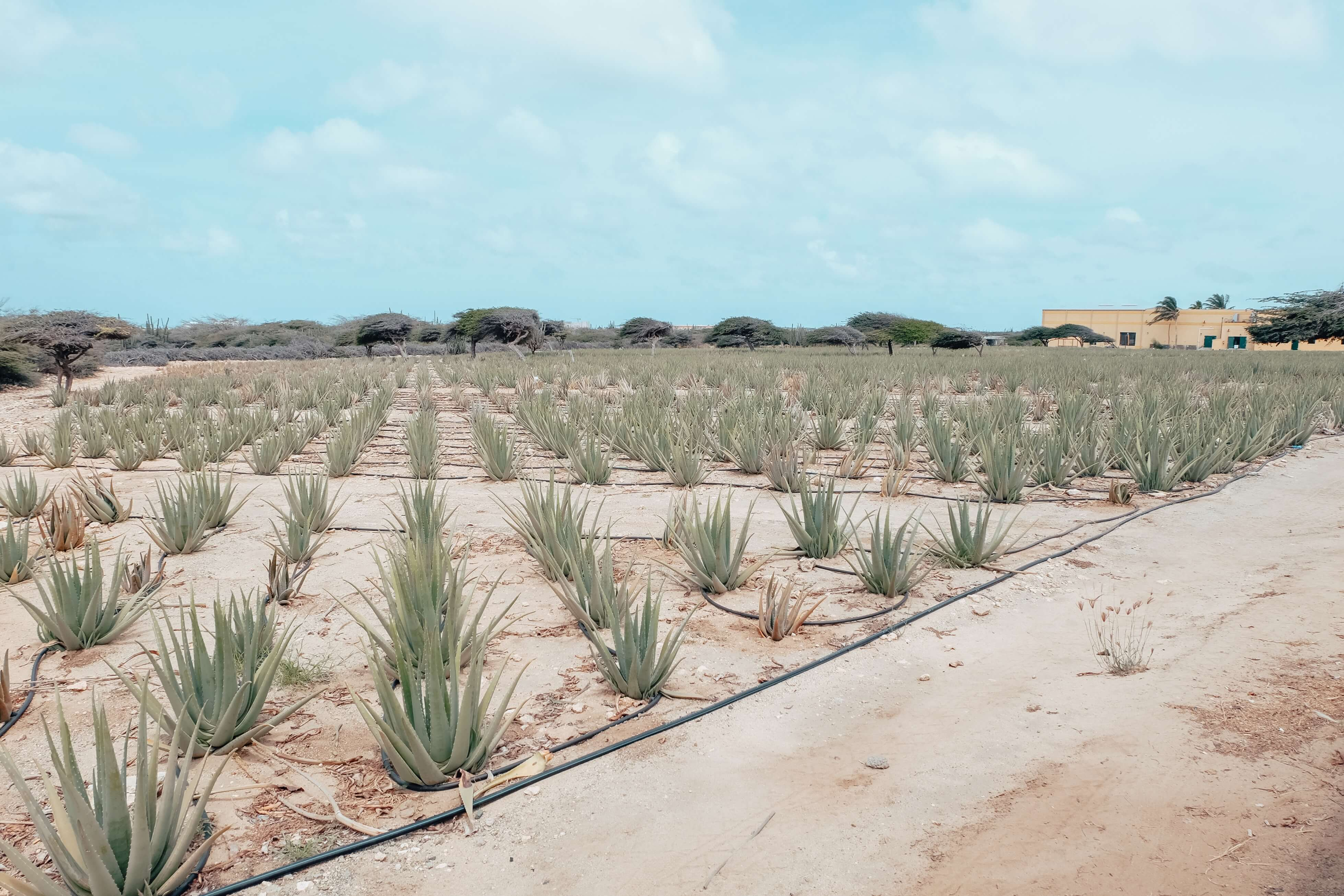 Aruba Aloe