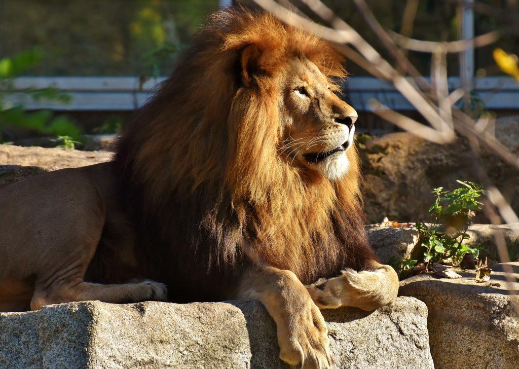 zvieracie atrakcie - prechádzka s levmi