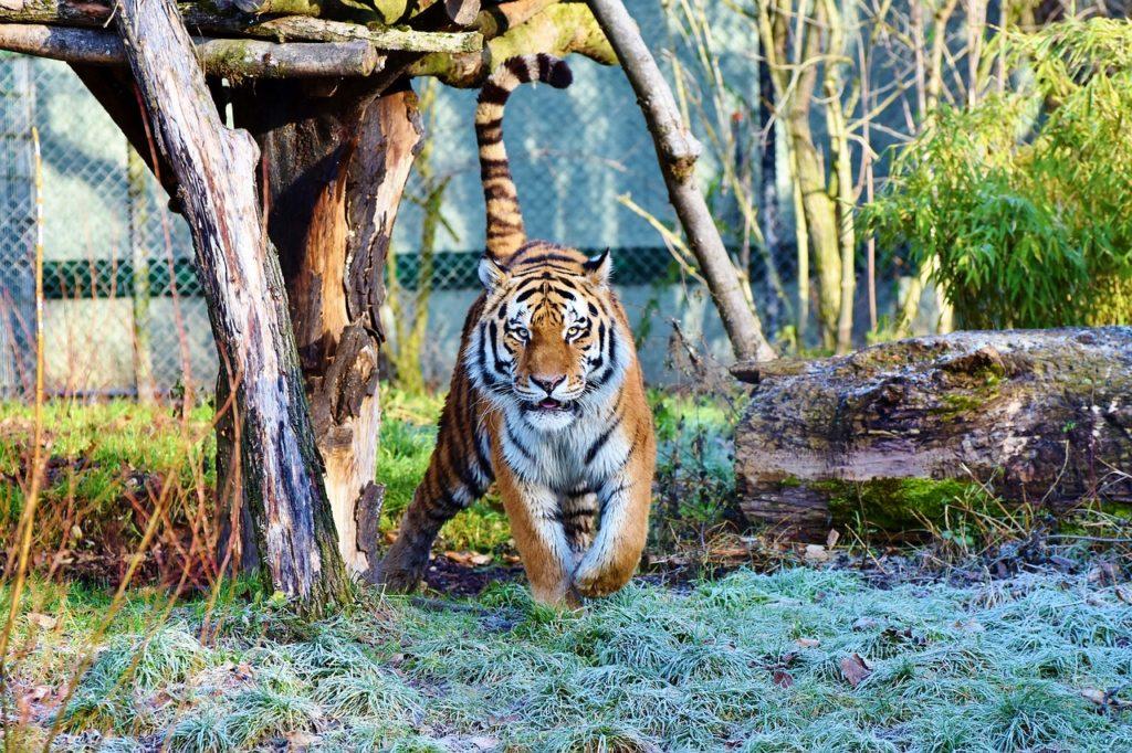 Zvieracie  atrakcie - selfie s tigrom